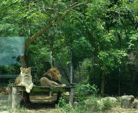 ak-lion