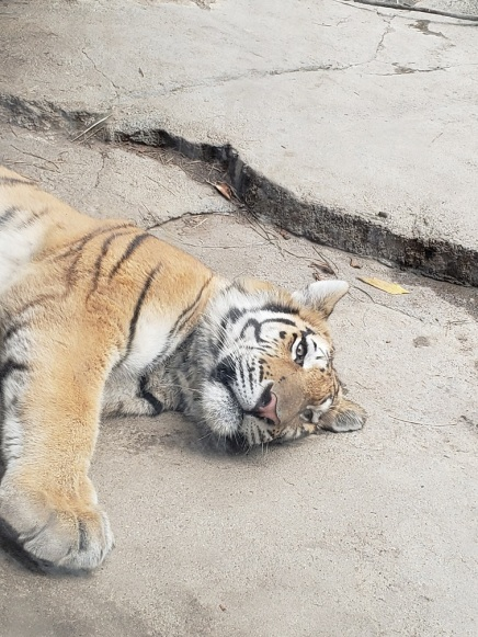 col-tiger