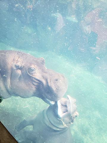 fiona-hippo